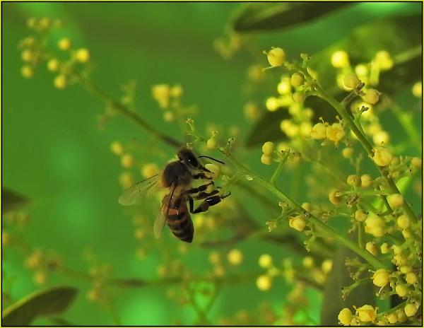Bee on pepper tree by fotobee