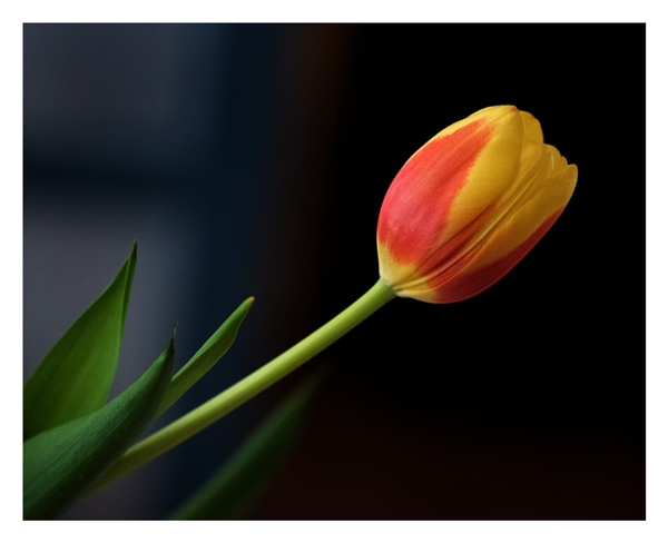 Bi-color Tulip by taggart