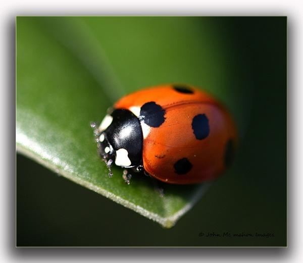 Ladybird Macro. by johnvincint
