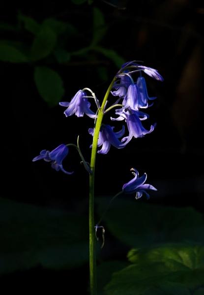Sunlit Bluebells by Madoldie