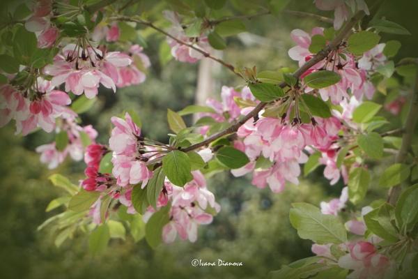Apple Blossom by idiabb