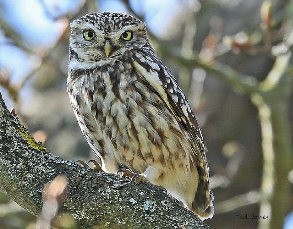 Little Owl by tedbear