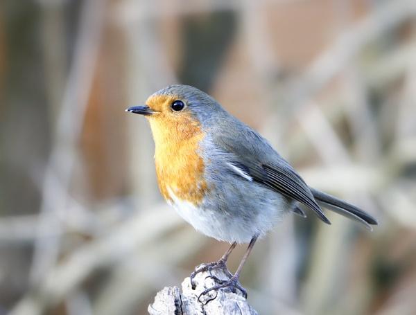"\""April\'s Robin\"". by adrianedwa"