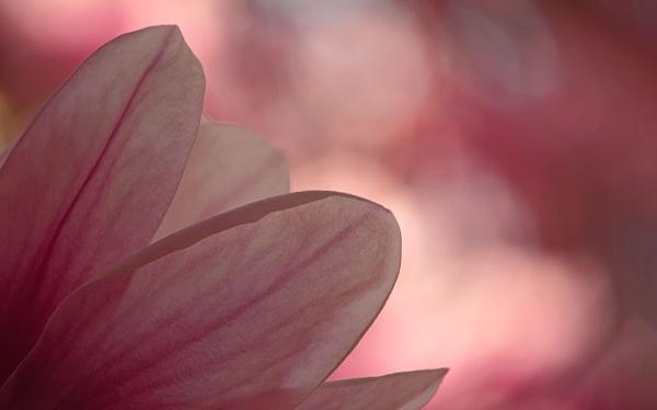 Magnolia petals by LaoCe