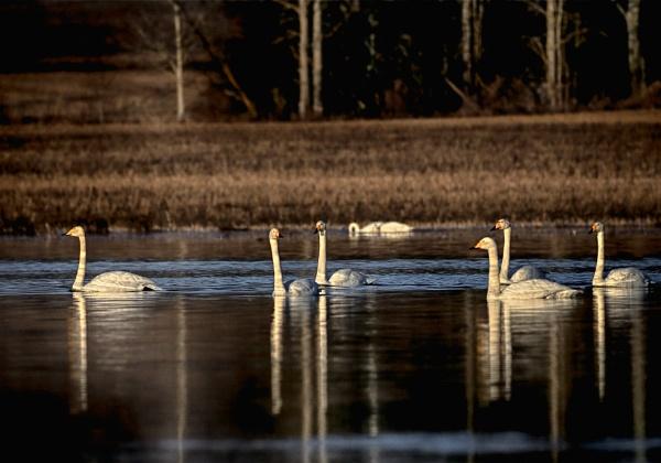 Whooper swans 2 in Vihti by hannukon