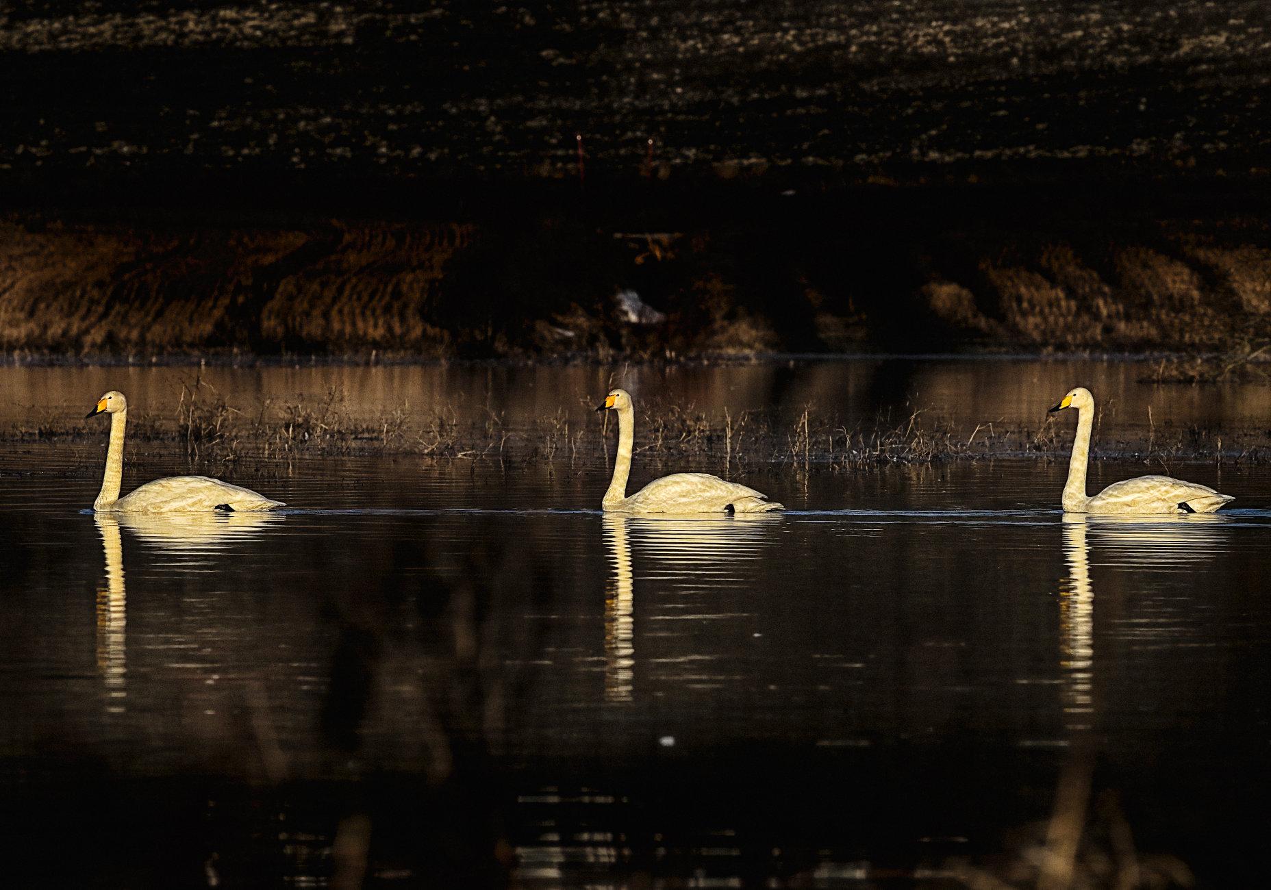 Whooper swans 3 in Vihti