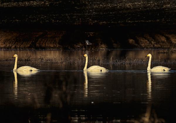 Whooper swans 3 in Vihti by hannukon