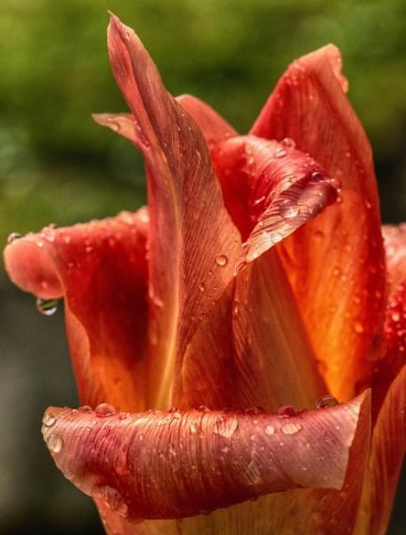 tulip+rain drops+HDR by bornstupix2