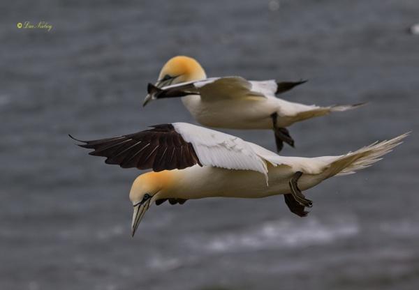 Gannets at Bempton by DaveNewbury