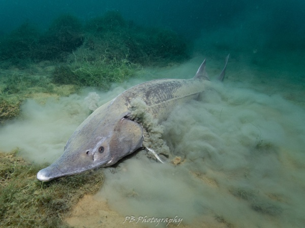 Sturgeon filter feeding by Scubaphil