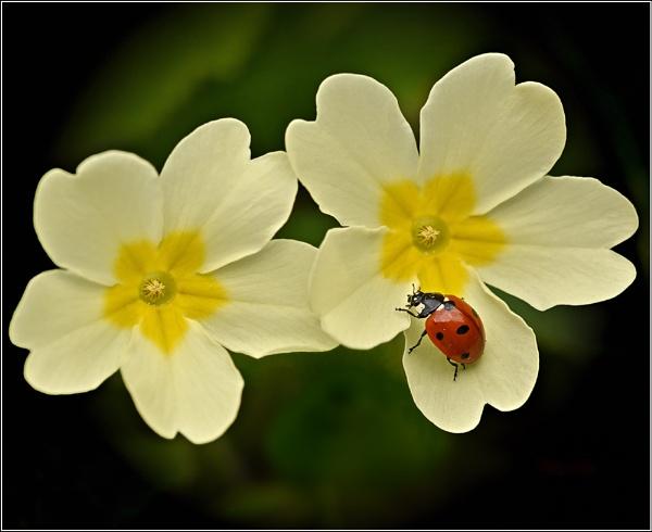 Ladybird/Primroses. by bricurtis
