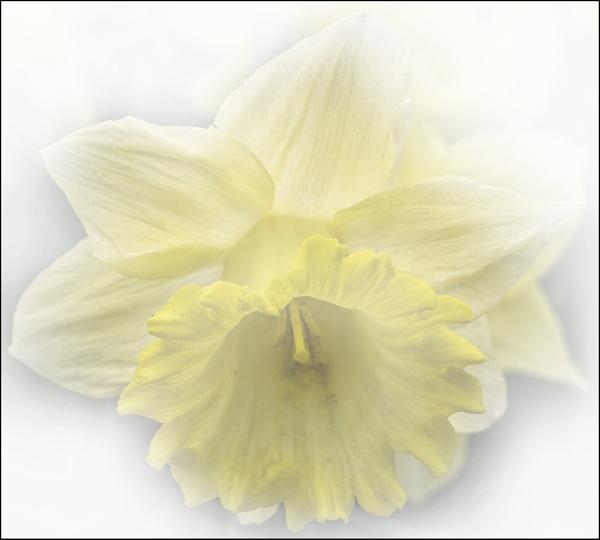 Daffodil by MAK2