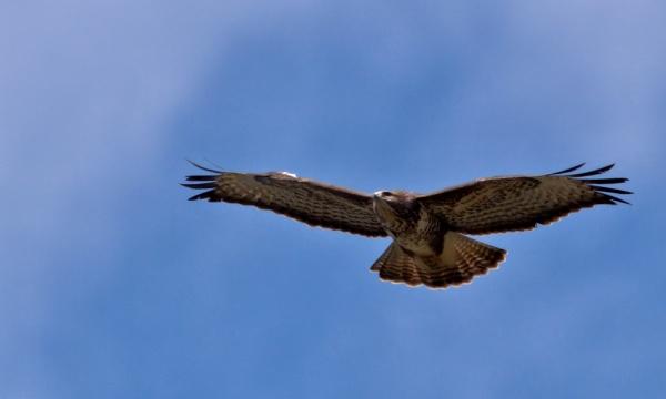 Common Buzzard in flight by rawshooter