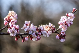 A Branch of Apricot