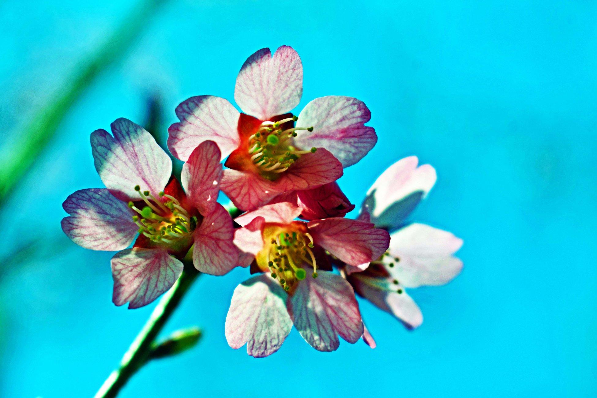 Flowering Cherry Blossoms