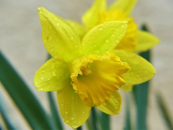 daffodil in the rain by joyo