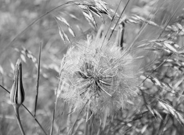 Dandelion Clock by BRobins