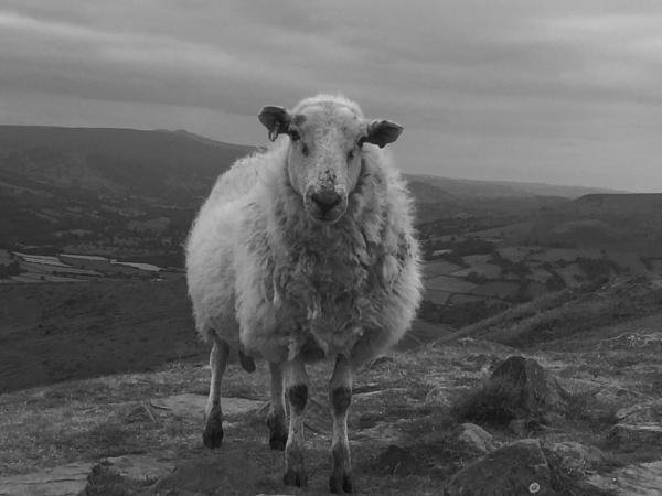 Sheep - at the top of Sugar Loaf Wales by BRobins