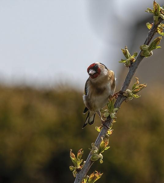 Goldfinch by royd63uk