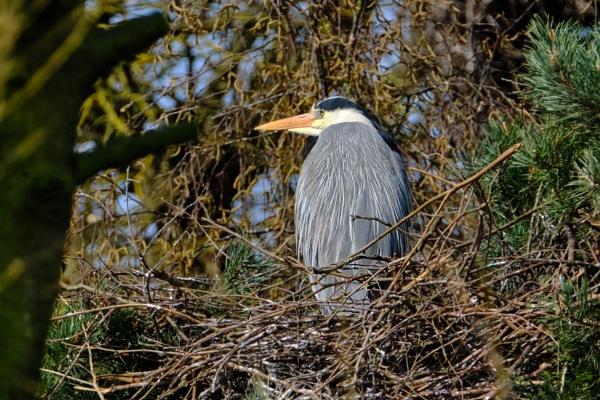 Roosting Grey Heron by photographerjoe