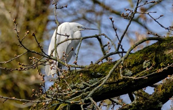 Egret by photographerjoe