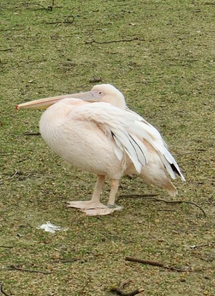 Pelican by pcollingwood