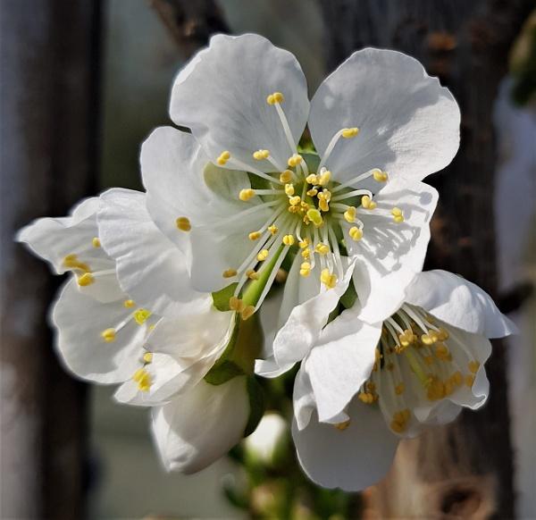 Cherry Blossom by rosej