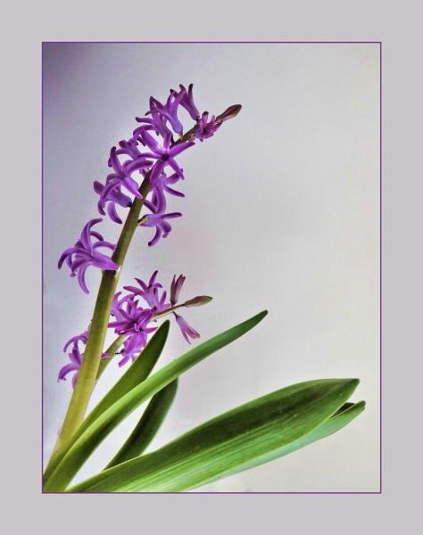 Hyacinth by Joline