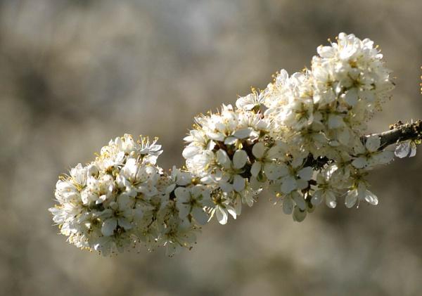 Blackthorn Blossom by viscostatic