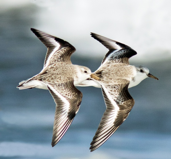 Sanderlings in close formation by oldgreyheron