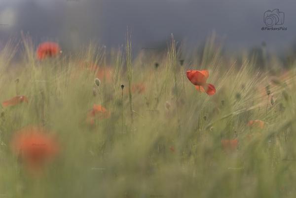 Poppy Field by Parkerspics