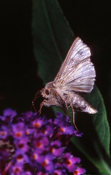 """Silver \""""Y\"""" moth by TonyDy"""
