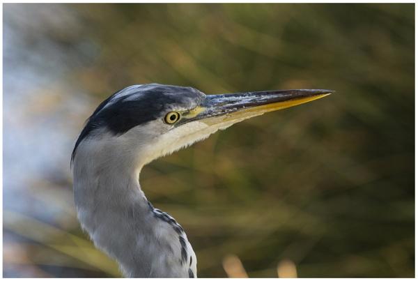 Heron by maroondah