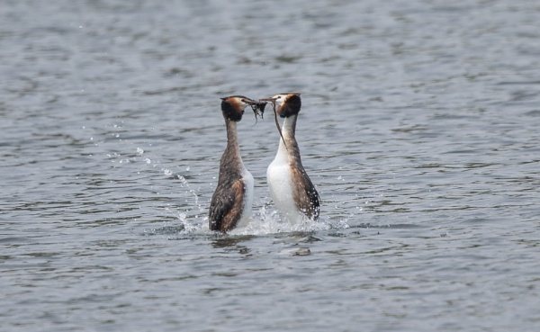 Great Crested Grebes by mjparmy