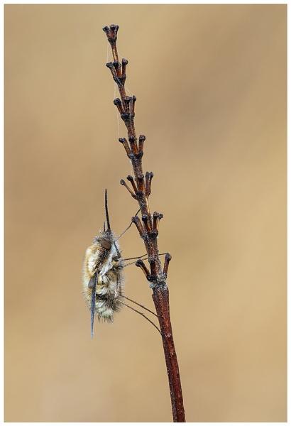 Bee Fly - Bombylius major. by NigelKiteley