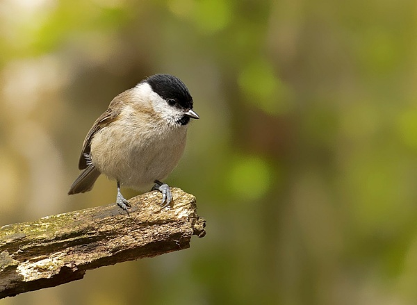Marsh Tit by J_Caswell