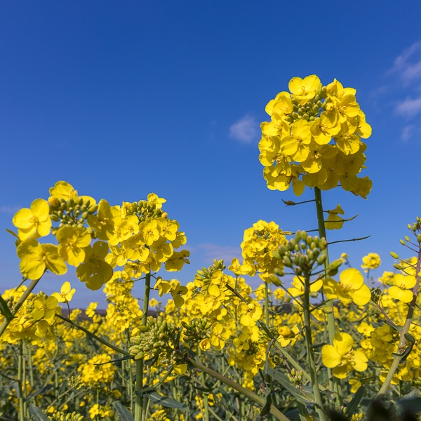 Rapeseed (Brassica napus) flowering in the East Sussex countryside by Phil_Bird