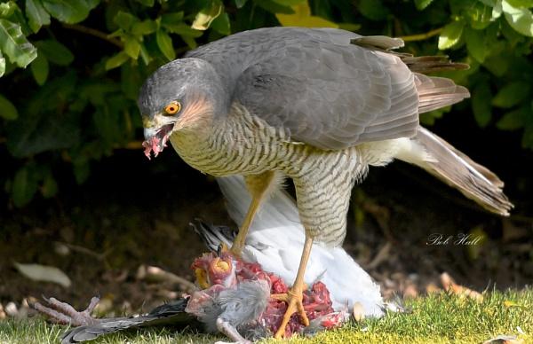 Sparrow Hawk by robert5
