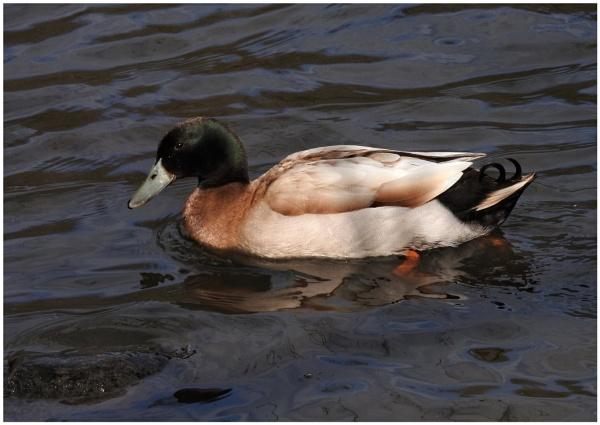 Duck Identification Please by PhilT2