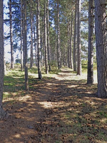 Pine Trees by Gypsyman