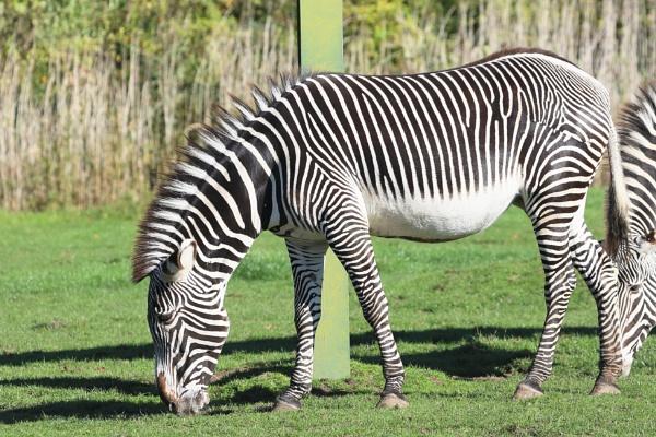 Grévy\'s Zebra by M_squared