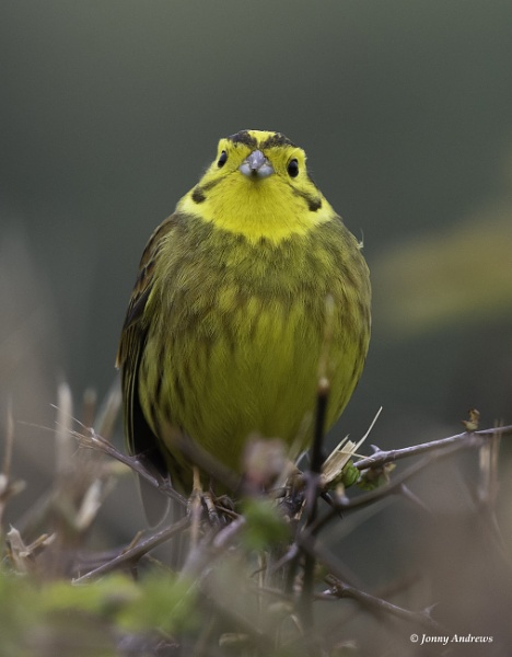 Yellowhammer by JonnyNI