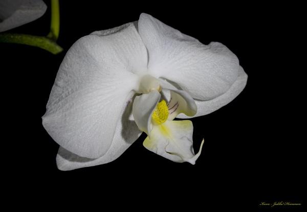 Orchid by kuvailija