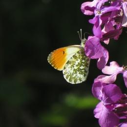 Orange Tip Butterfly on Honesty