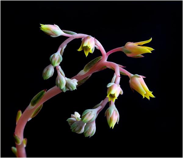 Succulent by capto