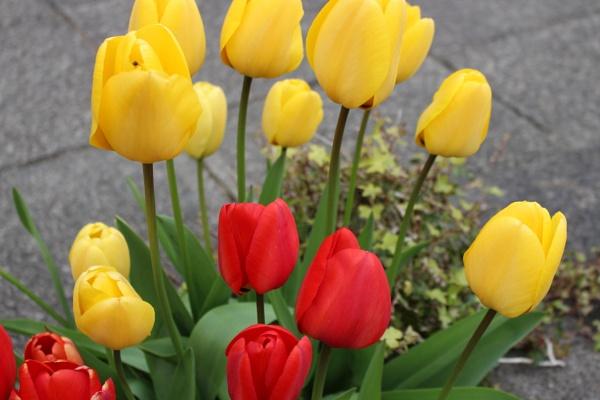 SpringTulips by carol01