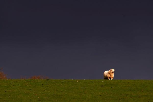 Storm sheep by turniptowers