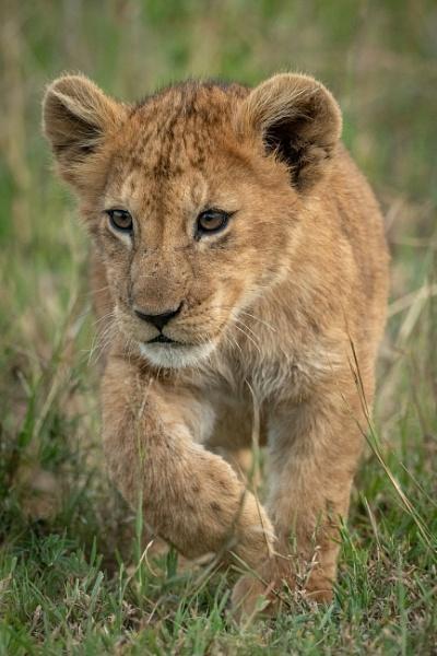 Lion cub crosses long grass lifting paw by NickDale