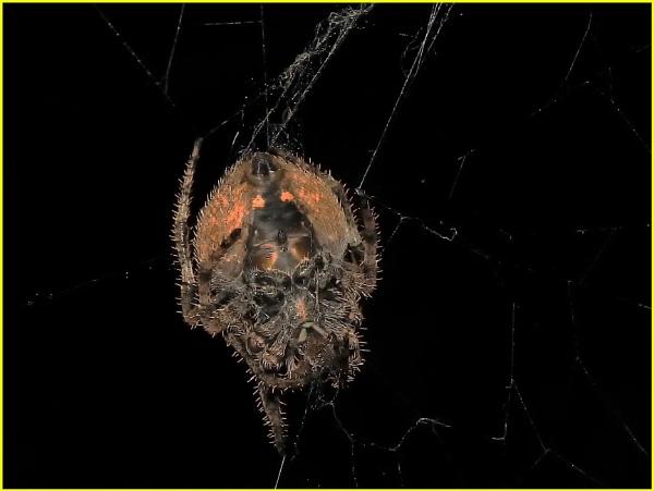 Hairy field spider Neosconus triangularis by fotobee