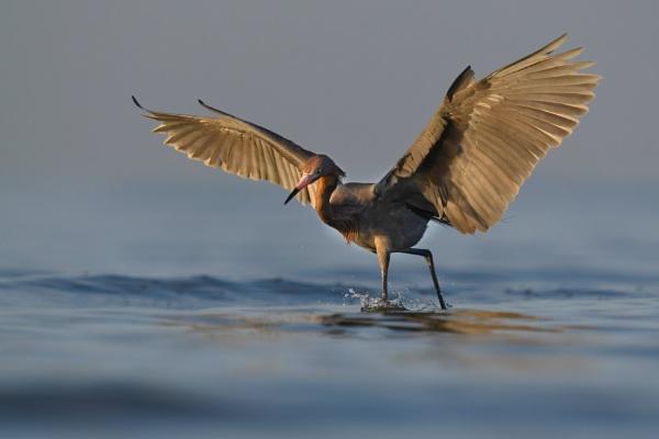 Reddish Egret by jacques st-jean